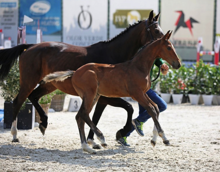 flanders_foal_auction_csi_bonheiden__flanders_foal_auction